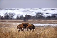 北美野牛冬天 免版税库存照片