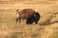 北美野牛北美野牛 库存照片