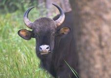 北美野牛印地安人 库存照片