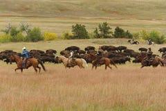 北美野牛召集 免版税库存照片