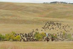 北美野牛召集 图库摄影