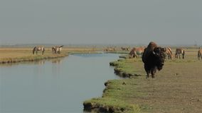 北美野牛和不同的野生动物在浇灌 影视素材