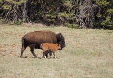 北美野牛和小牛 免版税库存照片