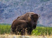北美野牛和小牛 库存照片