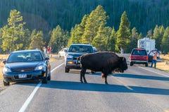 北美野牛和游人 库存图片
