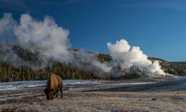 北美野牛和老忠实的喷泉 免版税库存图片