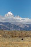 北美野牛和Tetons 免版税库存照片