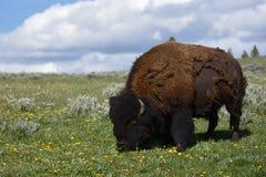 北美野牛哺养 免版税库存图片