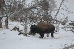 北美野牛在冬天在雪的黄石 免版税库存图片