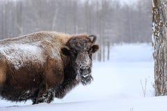 北美野牛在冬天 免版税库存照片
