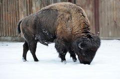 北美野牛在冬天 库存图片