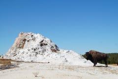 北美野牛在喷泉旁边的黄石 免版税库存照片