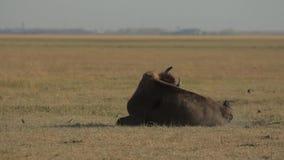 北美野牛在尘土在 影视素材