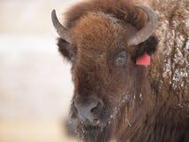 北美野牛在早期的春天 库存照片