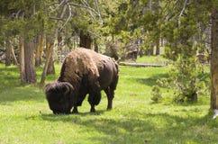 北美野牛在森林 免版税库存图片