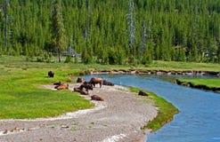 北美野牛在河的水牛城牧群在黄石国家公园弯曲在怀俄明美国 库存图片