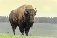 北美野牛在美国 库存照片