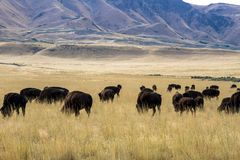 北美野牛在羚羊海岛国家公园的山附近吃草在犹他 免版税库存图片