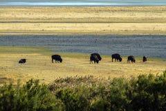 北美野牛在羚羊海岛国家公园的山附近吃草在犹他 库存图片