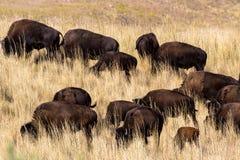北美野牛在羚羊海岛国家公园的高草吃草在犹他 库存图片