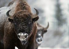 北美野牛在雪的冬日 免版税库存照片