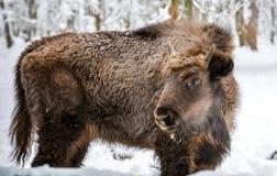 北美野牛在雪花费在prioksky储备的冬天在谢尔普霍夫在俄罗斯中部 库存照片