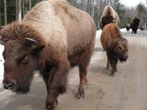 北美野牛在魁北克 加拿大,北美洲 图库摄影