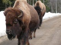 北美野牛在魁北克 加拿大,北美洲 库存图片