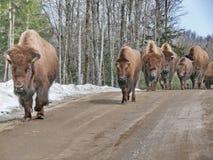 北美野牛在魁北克 加拿大,北美洲 免版税库存图片