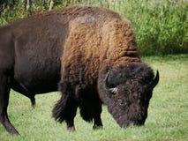 北美野牛在麋鹿岛国家公园-亚伯大 库存图片
