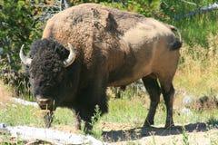 北美野牛在黄石公园 库存照片
