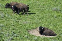 北美野牛在水牛放置耽溺于得到尘土浴 免版税库存图片
