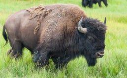 北美野牛在黄石国家公园 免版税库存照片
