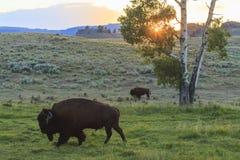 北美野牛在黄石国家公园 库存照片