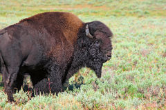 北美野牛在黄石 免版税库存照片