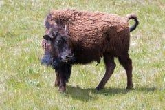 北美野牛在Lamar谷的水牛城母牛在黄石国家公园在怀俄明美国 免版税图库摄影