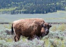北美野牛在Lamar谷的水牛城母牛在黄石国家公园在怀俄明美国 库存照片