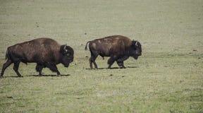 北美野牛大峡谷国家公园 库存照片