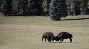 北美野牛大峡谷国家公园 免版税库存图片