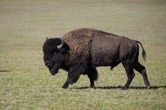 北美野牛大峡谷国家公园 库存图片