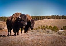 北美野牛夫妇 免版税库存照片