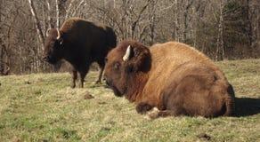 北美野牛夫妇 库存图片