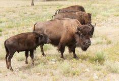 北美野牛妈妈和儿子 图库摄影