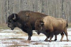 北美野牛对 库存图片