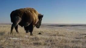 北美野牛寻找草在雪下是深的 他们厚实的外套可能绝缘他们下来到-20华氏 免版税库存照片