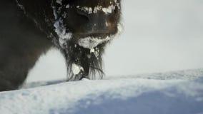 北美野牛寻找草在雪下是深的 他们厚实的外套可能绝缘他们下来到-20华氏 免版税图库摄影