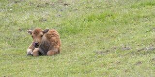 北美野牛小牛休息 库存照片