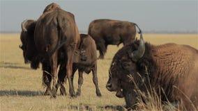 北美野牛小牛吮他的母亲 影视素材