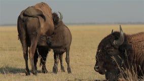 北美野牛小牛喝它的母乳 股票录像