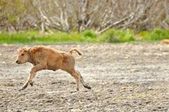 北美野牛小牛木头 免版税库存图片